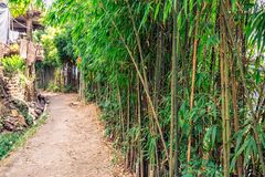 Bamboo forest India. Young bamboo forest growing at Darjeeling, India Royalty Free Stock Images