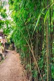 Bamboo forest India. Young bamboo forest growing at Darjeeling, India Royalty Free Stock Photography