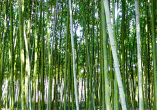 A bamboo forest Stock Images