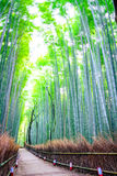 Bamboo Forest in Japan. Royalty Free Stock Image