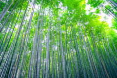 .Bamboo Forest in Japan Stock Photography