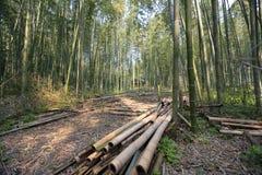 Bamboo Forest in Japan, Arashiyama, Kyoto. A Bamboo Forest in Japan, Arashiyama, Kyoto Royalty Free Stock Photo