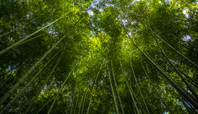 Bamboo Forest in Japan, Arashiyama, Kyoto, Selective focus and light adjustment. Royalty Free Stock Photography
