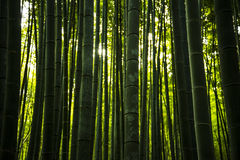 Bamboo Forest in Japan, Arashiyama, Kyoto, Selective focus and light adjustment. Stock Image