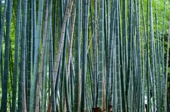 Bamboo forest in Japan stock photo