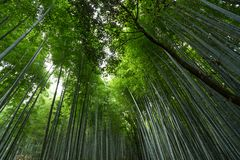 Bamboo forest in Japan Royalty Free Stock Photo