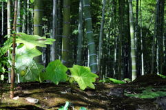 Bamboo forest. In Japan not far from Kyoto Stock Photography