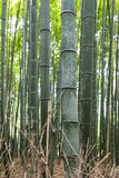 Bamboo forest. In Japan park Royalty Free Stock Image