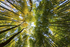 Bamboo forest in Japan Royalty Free Stock Image