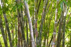 Bamboo forest in the jungle. Big green bamboo tree forest in the jungle at a tropical island Stock Image