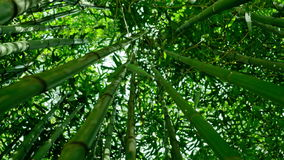 Bamboo forest 4K. Bamboo moving in a gentle breeze. Some leaves falling down