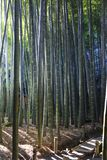 Bamboo forest in kamakura Japan royalty free stock images