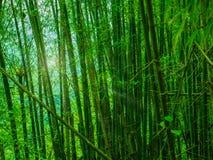 Bamboo forest in Khao Luang mountain Ramkhamhaeng National Park,. Sukhothai province Thailand royalty free stock photos