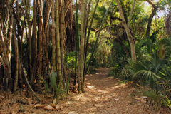 Bamboo Forest. In the Koreshan State Historic Site in Estero, Florida Royalty Free Stock Image