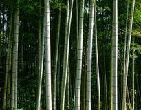 Bamboo forest in Kumano Kodo Trails. Bamboo forest of Kumano Kodo pilgrimage routes in Kansai, Japan Stock Image