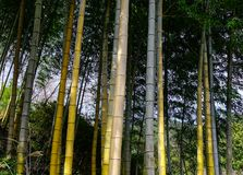 Bamboo forest in Kumano Kodo Trails. Bamboo forest of Kumano Kodo pilgrimage routes at summer in Kansai, Japan Royalty Free Stock Photo