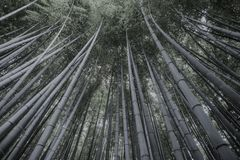 Bamboo forest in kyoto. Big tall green trees is the bamboo forest parf near kyoto Stock Image