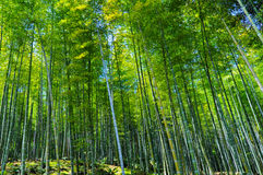 Bamboo Forest in Kyoto Japan stock photography