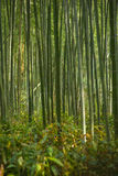 Bamboo forest in Kyoto. Japan Royalty Free Stock Image