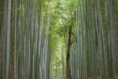 Bamboo forest in Kyoto Royalty Free Stock Images