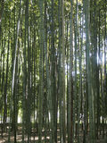 Bamboo Forest. A forest of bamboo in Kyoto, Japan Royalty Free Stock Images