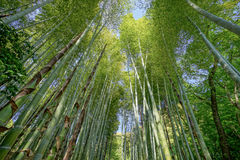 Bamboo forest. A Bamboo forest in Kyoto, Japan Stock Images