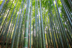 The bamboo forest of Kyoto, Japan. For adv or others purpose use Stock Photos