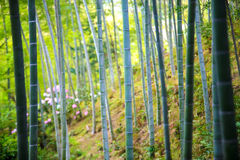 The bamboo forest of Kyoto, Japan. For adv or others purpose use Stock Photography
