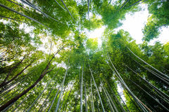 The bamboo forest of Kyoto, Japan Stock Image