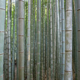 Bamboo forest in Kyoto Royalty Free Stock Photography