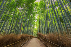 Bamboo Forest in Kyoto, Japan Royalty Free Stock Photography