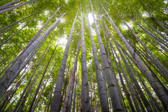 Bamboo Forest, Kyoto, Japan Royalty Free Stock Photography