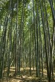Bamboo forest at Kyoto, Japan. Bamboo forest at Arashiyama district in Kyoto, Japan Royalty Free Stock Image