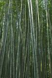 Bamboo forest at Kyoto, Japan. Bamboo forest at Arashiyama district in Kyoto, Japan Stock Images