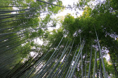 Bamboo forest at kyoto japan Stock Image