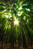 Bamboo forest. Looking up the bamboo forest Royalty Free Stock Photos