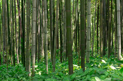 Bamboo forest. Looking up the bamboo forest Stock Photo