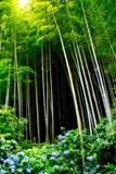 Bamboo Forest. Looking up in a bamboo forest in soft light Stock Photos