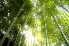 Bamboo Forest. Looking up in a bamboo forest in soft light Stock Photography