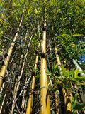 Bamboo forest looking upwards 4k. Green Bamboo forest on sunny day 4k Royalty Free Stock Photo