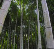 Bamboo forest low angle view Royalty Free Stock Photos
