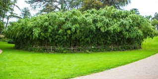Bamboo forest in Margam Castle gardens, Whales stock images