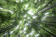 Bamboo forest maui stock images