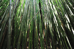 Bamboo Forest Maui, Hawaii. This bamboo forest is on the popular Waimoku Falls Trail on Maui Hawaii Royalty Free Stock Photography