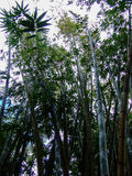 Bamboo forest in Mauritius. Bamboo forest from frog perspective in Mauritius stock photography