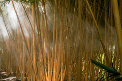 Bamboo forest. Mist morning in a bamboo forest and sunlight beams Stock Images