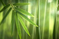 Bamboo forest in the morning,natural background royalty free stock photos