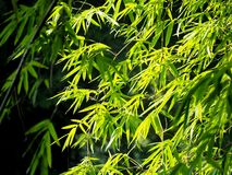 Bamboo forest in the morning royalty free stock photos