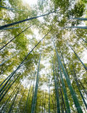 Bamboo forest Stock Photography