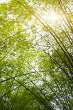 Bamboo forest Royalty Free Stock Images